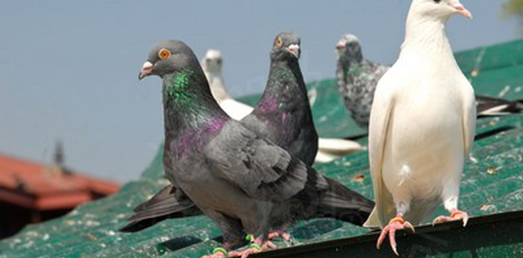 Obrońcy praw zwierząt krytykują Papieża za...wypuszczane gołębie! - zdjęcie