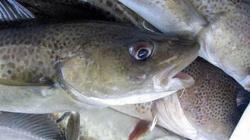 Zakaz połowów dorsza w Bałtyku. Polski rząd próbuje ratować morze, ale Bruksela nie ułatwia tej walki - miniaturka