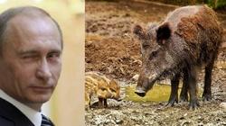Czy za ASF stoją rosyjskie służby? - miniaturka