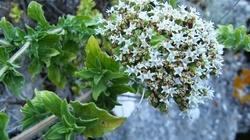 W twoim ogródku rośnie apteka - zioła na raka i nie tylko - miniaturka