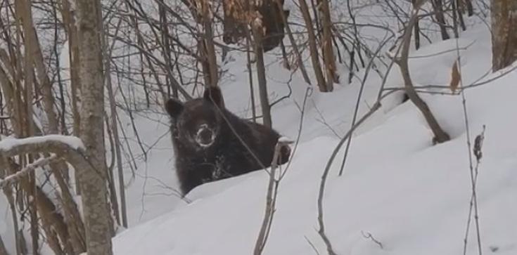 Grzesio czy Lesio? Rozmowa leśniczego z niedźwiedziem podbija internet (WIDEO) - zdjęcie