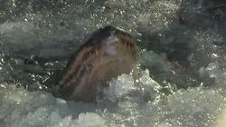 Aligatory ,,zamarzają'', by przetrwać chłod. Zadziwiający spryt - miniaturka