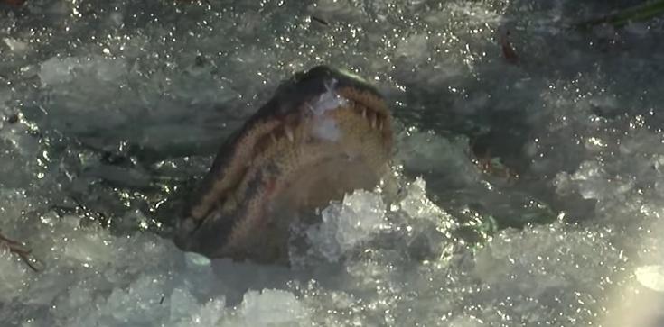 Aligatory ,,zamarzają'', by przetrwać chłod. Zadziwiający spryt - zdjęcie