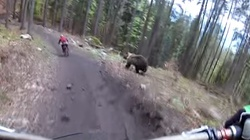 Słowacki niedźwiedź gonił w lesie rowerzystę  - miniaturka