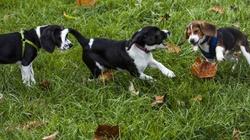 Zapłodnienie in vitro także dla psów  - miniaturka