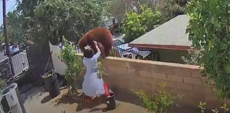 [Wideo] Szokujące nagranie. 17-latka stawiła czoła niedźwiedziowi, aby ratować swoje psy - zdjęcie