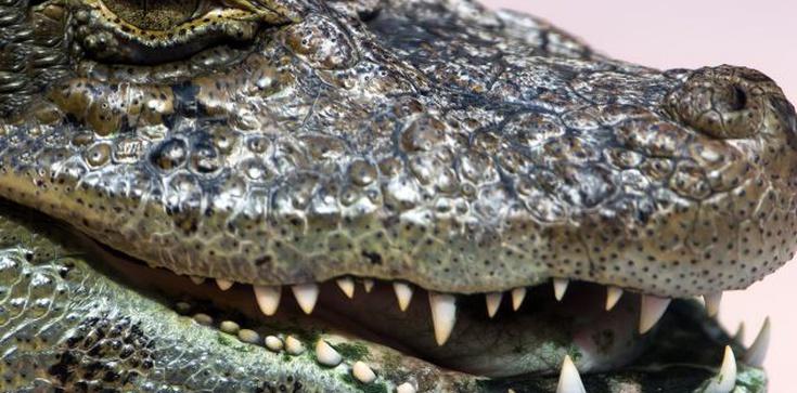 Aligatory nie lubią przekleństw - zdjęcie