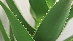 Aloes - apteka na parapecie twojego okna! - miniaturka