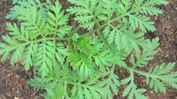 Roślina, która leczy covid-19 - miniaturka