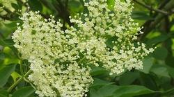 Pora na syrop z kwiatów czarnego bzu - miniaturka