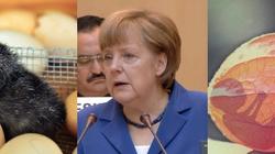 Niemcy – kraj absurdu. Aborcja jest legalna. Władze wprowadzają za to… zakaz zabijania kurzych embrionów  - miniaturka