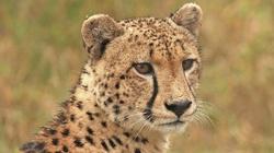 Gepard próbował zabić kobietę w parku! - miniaturka