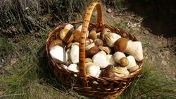 Grzyby to leśne mięso: 1 kg grzybów to pół kilo mięsa - miniaturka