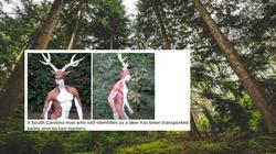 USA. Myśliwi postrzelili transseksualnego człowieka-jelenia  - miniaturka