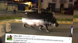 Uwaga na hipopotamy na ulicy! - miniaturka