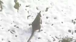 [Wideo] Australijska zima stulecia w... czerwcu. Ludzie i kangury trzęsą się z zimna - miniaturka