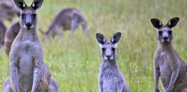 Australia: Jedzcie kangury, bo inaczej one zjedzą nas!!! - zdjęcie