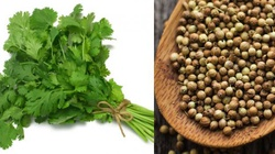 Kolendra - naturalny detox na bakterie, grzyby i raka! - miniaturka