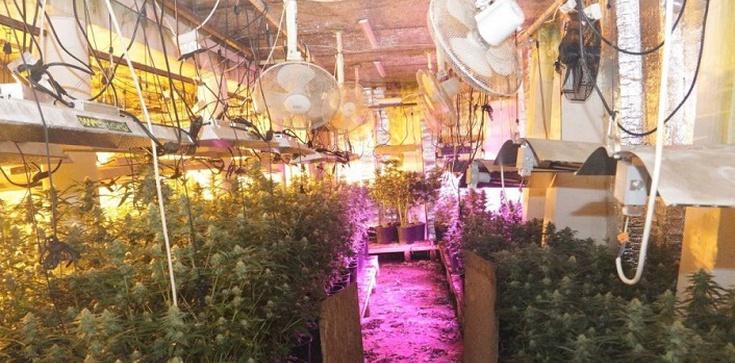 Zlikwidowano linię produkcyjną do wytwarzania marihuany i nielegalną plantację konopi - zdjęcie