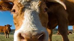 Absurdy UE! Unia opodatkowała… krowie bąki! - miniaturka