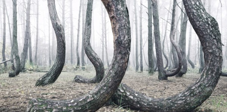 Krzywy las! Co za niezwykłe zjawisko! - zdjęcie