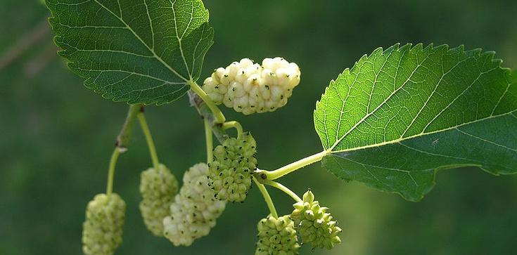 Biała morwa - cudowna roślina, o której zdrowotnych właściwościach nie wiedziałeś! - zdjęcie