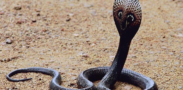 UWAGA Łodzianie! Jadowity wąż na wolności! - zdjęcie