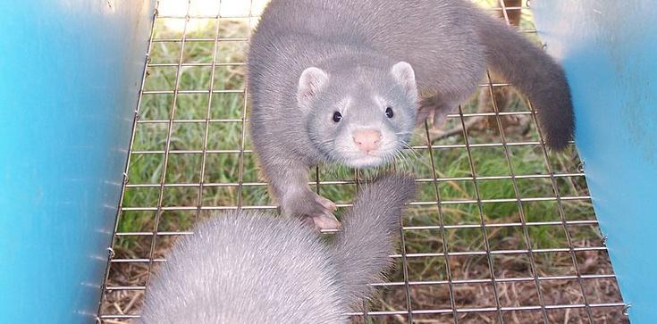 Co z hodowlą zwierząt futerkowych? 'Lump, który źle traktuje zwierzęta, nie będzie mógł dalej ich hodować' - zdjęcie