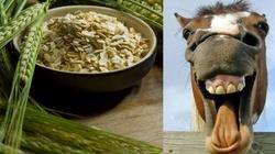 Płatki owsiane na końskie zdrowie - miniaturka