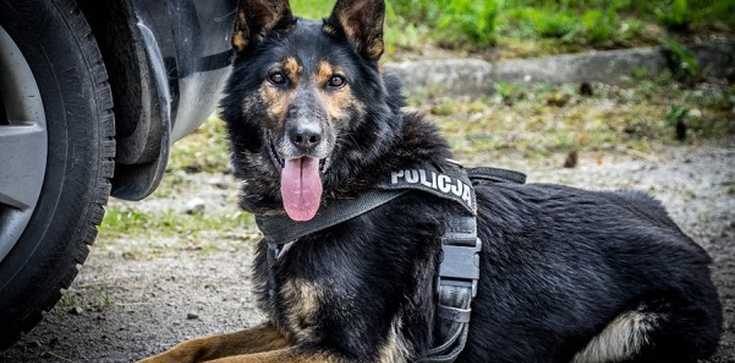 Policyjny pies uratował dziecko w Biesnej w Małopolsce - zdjęcie