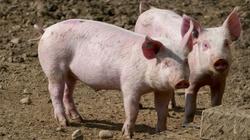 Chiny: Wykryto nowy, potencjalnie pandemiczny wirus u świń - miniaturka