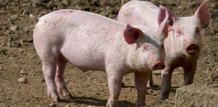 Chiny: Wykryto nowy, potencjalnie pandemiczny wirus u świń - zdjęcie