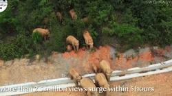 [Wideo] Stado słoni maszeruje przez Chiny. Jest już u progu ogromnego miasta - miniaturka