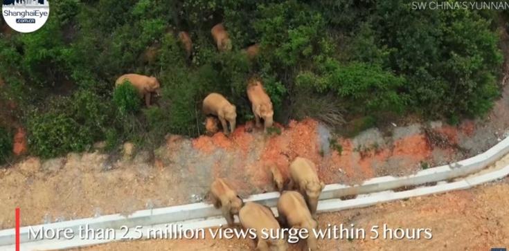 [Wideo] Stado słoni maszeruje przez Chiny. Jest już u progu ogromnego miasta - zdjęcie