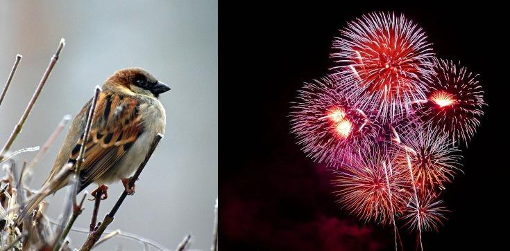 Ptaki kontra sylwester. Aktywiści policzą martwe zwierzęta - zdjęcie