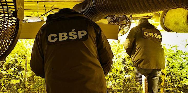 Cela Plus: CBŚP zlikwidowało ogromną plantację konopi - zdjęcie