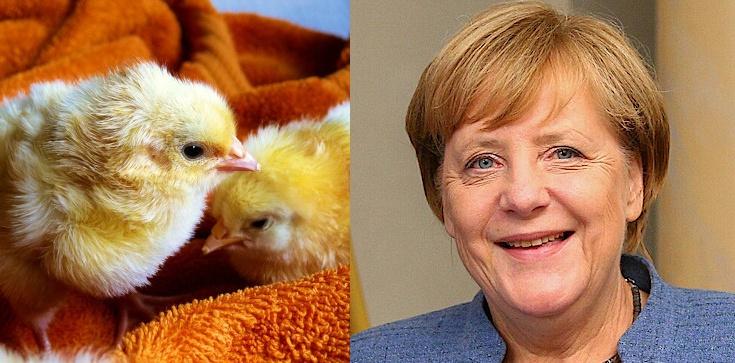Dla Merkel prawa kur ważniejsze niż dzieci poczętych - zdjęcie