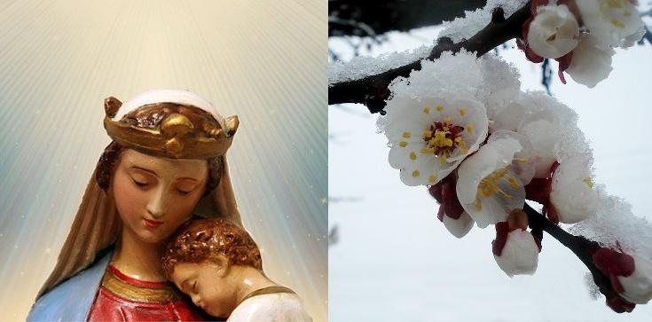 Cud po objawieniach Matki Bożej - drzewa kwitną mimo zimy i mrozu - zdjęcie