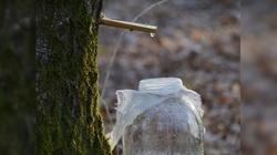 Oskoła - osłabiony zimą organizm woła! - miniaturka
