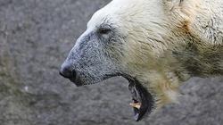 Niedźwiedzie polarne terroryzują rosyjskie miasteczko - miniaturka