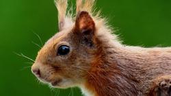 Mamy wiewiórkę i nie zawahamy się jej użyć... - miniaturka