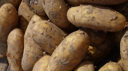 Sok z surowych ziemniaków - cudowne domowe panaceum - miniaturka
