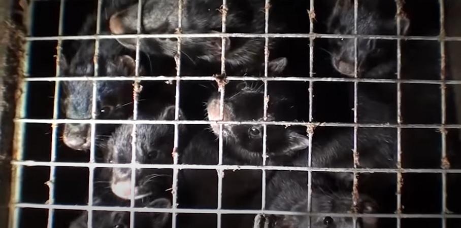 Sondaż. Czy Polacy są za zakazem hodowli zwierząt futerkowych i trzymania psów na łańcuchach? - miniaturka